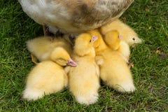 与母亲的鸭子 免版税库存照片