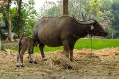 与母亲的水牛城小牛在农场泰国 免版税图库摄影
