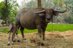 与母亲的水牛城小牛在农场泰国 免版税库存图片