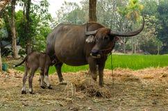 与母亲的水牛城小牛在农场泰国 库存图片