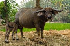 与母亲的水牛城小牛在农场泰国 图库摄影