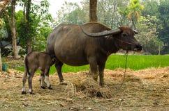 与母亲的水牛城小牛在农场泰国 库存照片