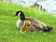 与母亲鸭子的逗人喜爱的巢 库存照片