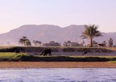 与母牛和休息的男孩的埃及风景银行的 免版税图库摄影