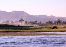 与母牛和休息的男孩的埃及风景银行的 免版税库存照片
