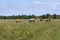 与母牛和马的农村风景 免版税库存图片