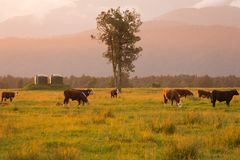 与母牛构筑的新西兰自然风景日落口气 库存图片