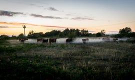 与母牛牧群的一个领域在雾的在黄昏 免版税库存图片