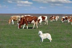 与母牛牧群的护羊狗  库存照片