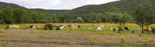 与母牛的全景风景 免版税图库摄影