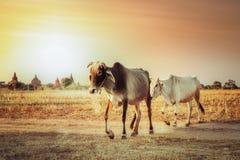 与母牛的农村亚洲风景在日落草甸 免版税库存图片