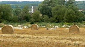 与母牛的匈牙利风景 免版税图库摄影