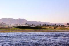 与母牛的埃及风景在银行 库存照片
