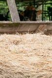 与母牛的干草堆 库存照片