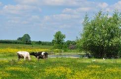 与母牛的春天横向 库存照片