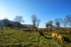 与母牛的田园诗夏天风景在越南的高原中心的草地 免版税库存图片