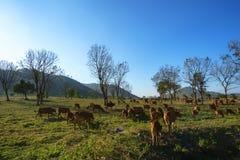 与母牛的田园诗夏天风景在越南的高原中心的草地 免版税图库摄影