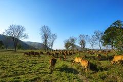 与母牛的田园诗夏天风景在越南的高原中心的草地 免版税库存照片