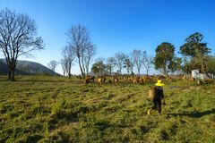 与母牛的田园诗夏天风景在越南的高原中心的草地 图库摄影