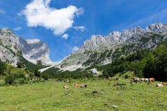 与母牛的田园诗山风景在阿尔卑斯 奥地利, Kaiser山,提洛尔 库存照片