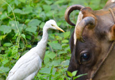与母牛的白色苍鹭 图库摄影