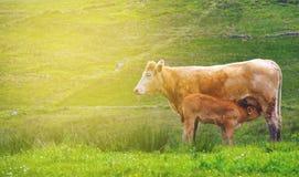 与母牛的美丽的爱尔兰农村countyside照片以绿色 免版税库存图片