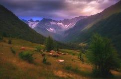 与母牛的美好的风景在山 免版税库存图片