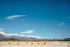 与母牛的路风景 库存照片