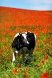 与母牛的领域在夏天 免版税库存图片