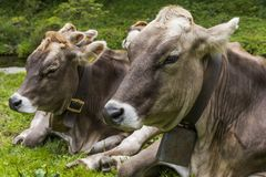 与母牛的颈铃的两头母牛 免版税库存图片