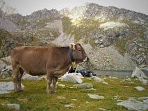 与母牛的颈铃的母牛 免版税库存照片