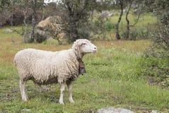 与母牛的颈铃的美利奴绵羊在草甸 库存图片