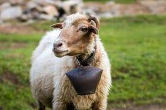 与母牛的颈铃的绵羊 图库摄影