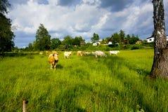 与母牛的风景 库存照片