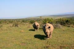与母犀牛的充电的公白色犀牛在背景中 库存图片