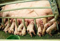 与母猪的哺养的小猪 免版税库存照片