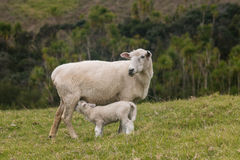 与母羊的幼儿羊羔 图库摄影