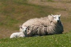 与母羊的羊羔 库存图片