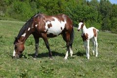 与母马的惊人的驹在pasturage 免版税库存图片