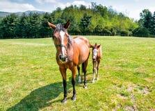 与母马的英国良种驹马 免版税图库摄影