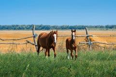与母马的驹 库存图片