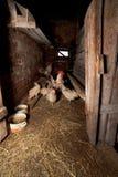 与母鸡的公鸡在一间农村鸡舍里 免版税库存照片