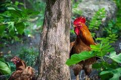 与母鸡的雄鸡在森林里 库存图片