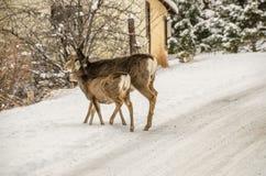 与母鹿的长耳鹿子孙 免版税库存照片