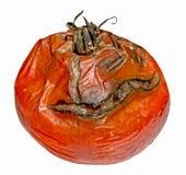 与毒性模子的腐烂的蕃茄 库存照片