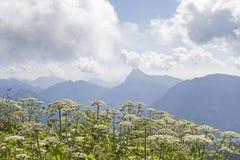 与毒草名植物的Guffert 免版税库存图片