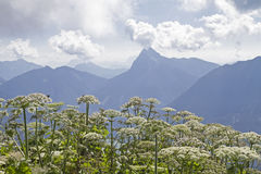 与毒草名植物的Guffert 免版税图库摄影