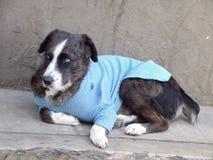 与毛线衣的狗 免版税图库摄影
