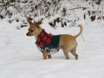 与毛线衣的鹿顶头奇瓦瓦狗在雪2017年12月25日 库存图片