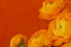 与毛茛属花的花卉壁角安排 免版税库存图片